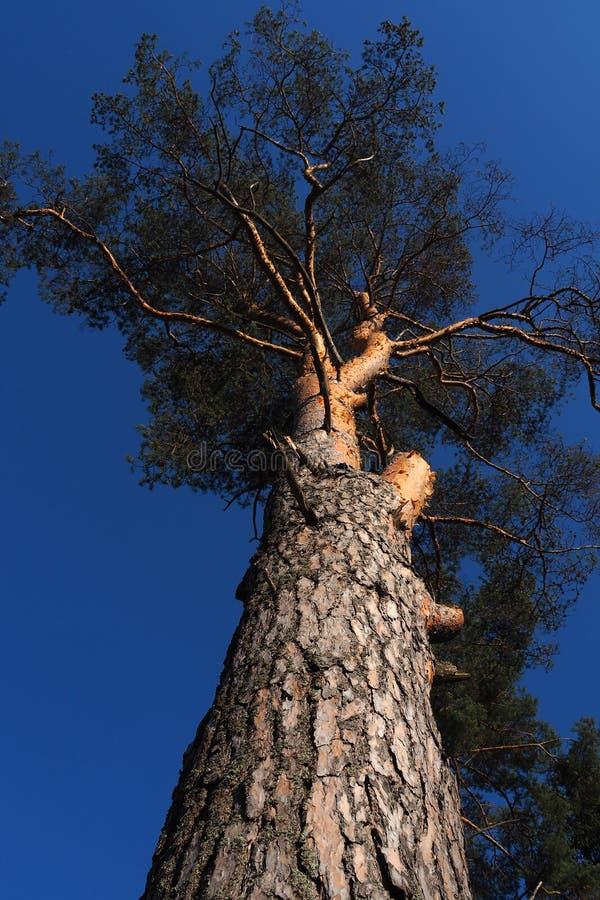 Muitos anos de grande pinheiro que olham fixamente no céu fotos de stock