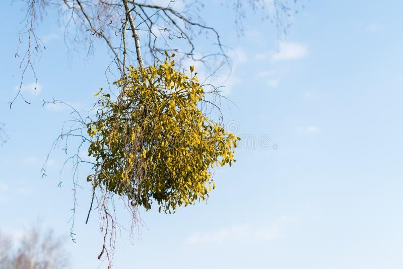 Muitos arbustos hemiparasitic do visco em ramos de árvore Álbum europeu comum do Viscum do visco que cresce nos ramos do vidoeiro imagem de stock