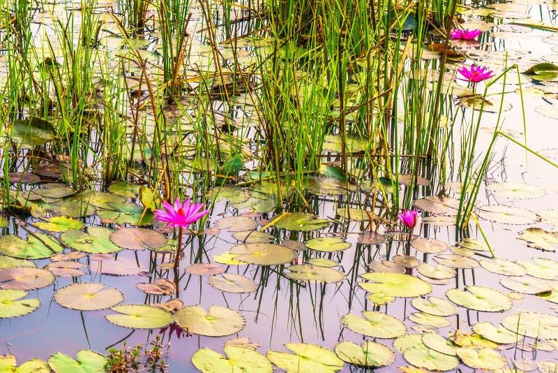 Muitos bonitos Lotus na lagoa imagens de stock royalty free