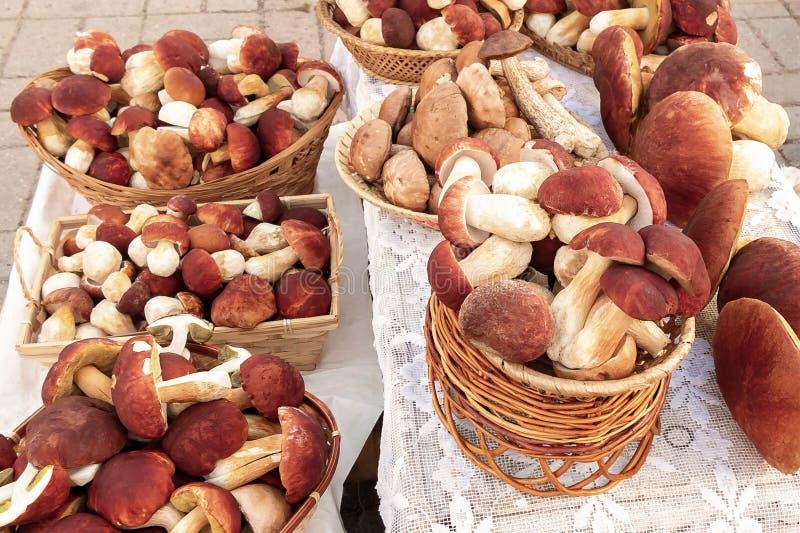 Muitos cepa-de-bord?us comest?veis f dos cogumelos da floresta o pinophilus conhecido como o bolete do rei, o bolo da moeda de um foto de stock