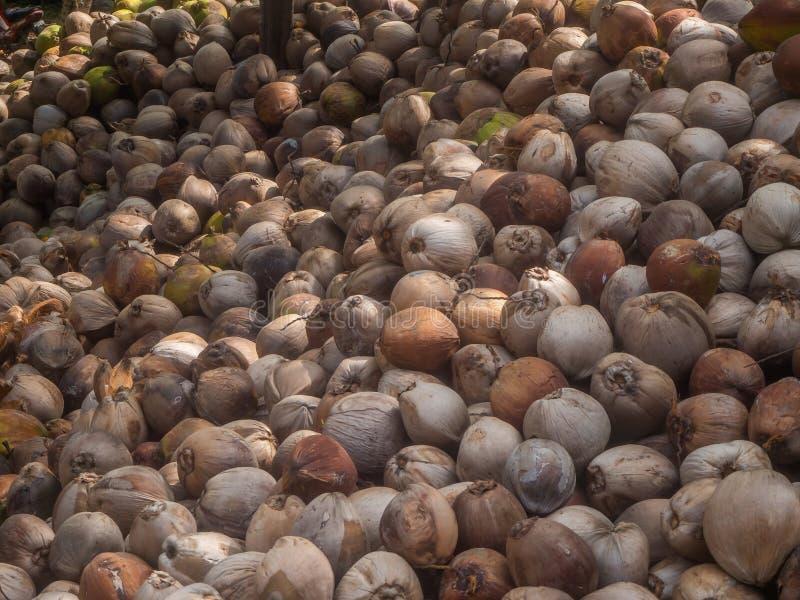 Muitos cocos encontram-se na m?scara das palmeiras imagem de stock