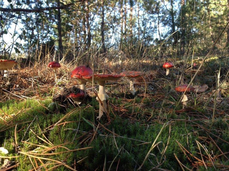 Muitos cogumelos venenosos vermelhos, paisagem da floresta do outono fotos de stock royalty free
