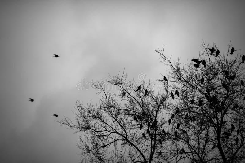 Muitos corvos que sentam-se na árvore leafless Rebecca 36 imagem de stock