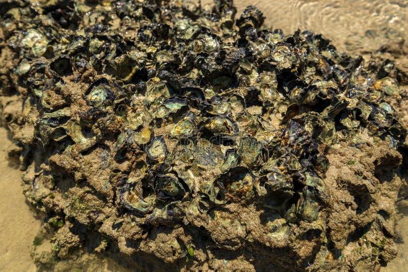 Muitos escudos do mar unidos às rochas na praia fotos de stock royalty free