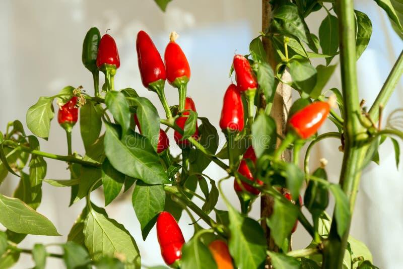Muitos frutos vermelhos da pimenta da malagueta picante amadurecem no arbusto dentro contra a janela foto de stock