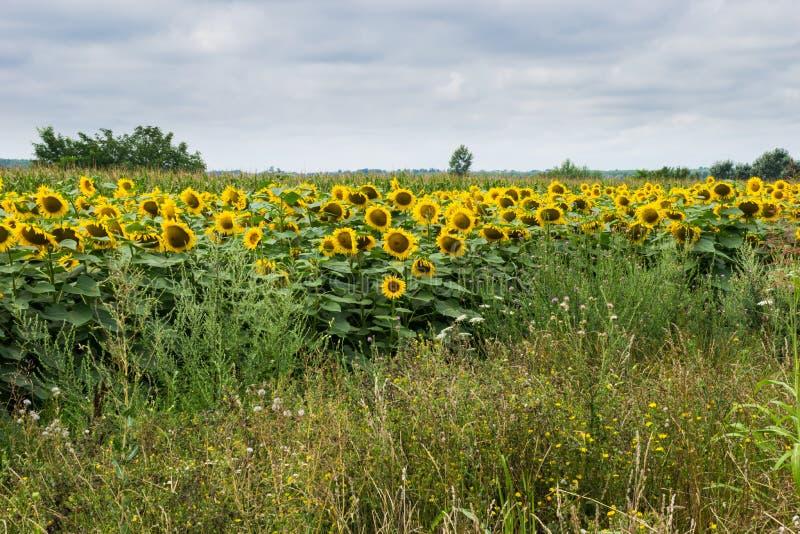 Muitos girassóis abertos no campo com ervas daninhas e grama na frente delas e do céu nebuloso atrás imagem de stock royalty free