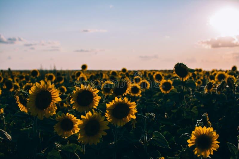 Muitos girassóis colocam sombras do por do sol imagem de stock royalty free