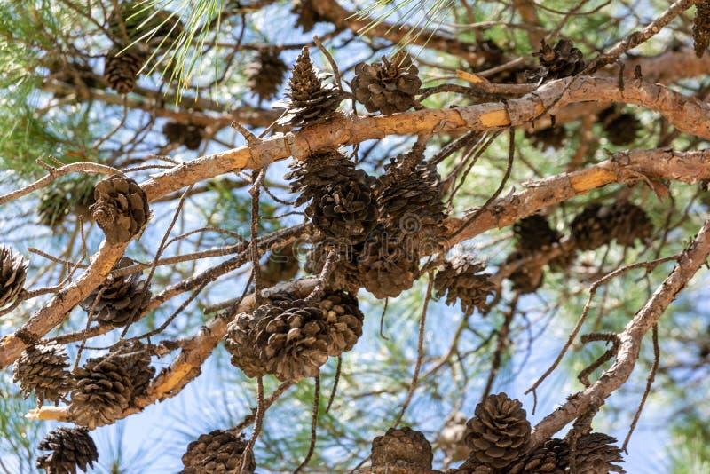 Muitos grandes cones em ramos do pinho foto de stock royalty free