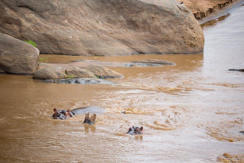 Muitos hipopótamos no rio de mara fotos de stock royalty free