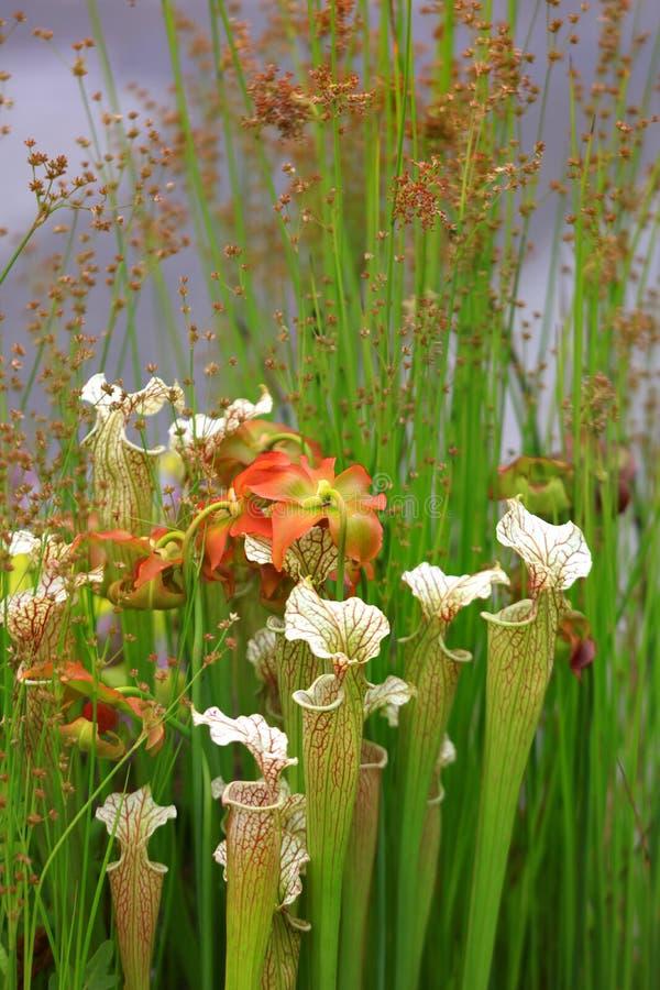 Muitos Jack nas flores do púlpito no jardim fotografia de stock royalty free