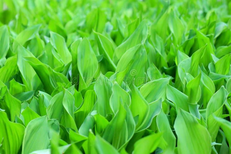 Muitos l?rios verdes do vale na cama de flor Flores Unripe Textura imagens de stock royalty free