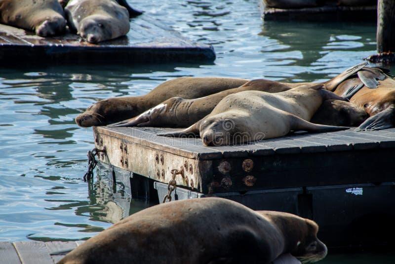 Muitos le?es de mar no cais 39 em San Francisco, Calif?rnia, EUA foto de stock