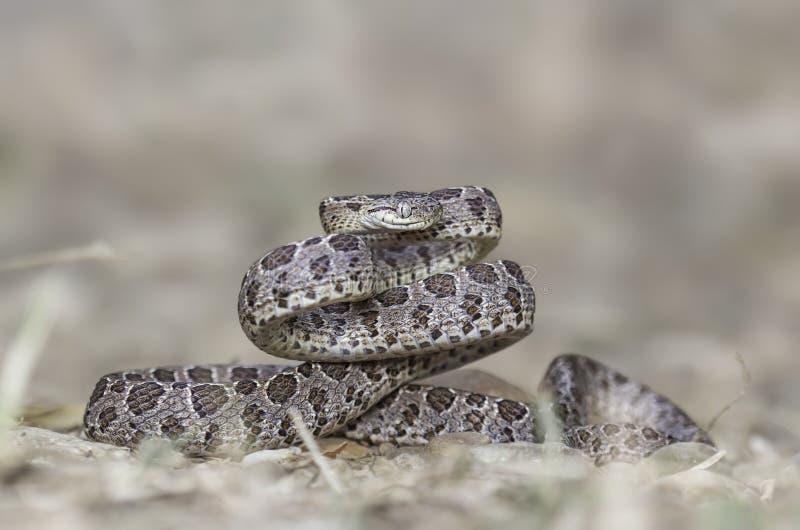 Muitos mancharam a serpente do gato (o multomaculata de Boiga) foto de stock royalty free