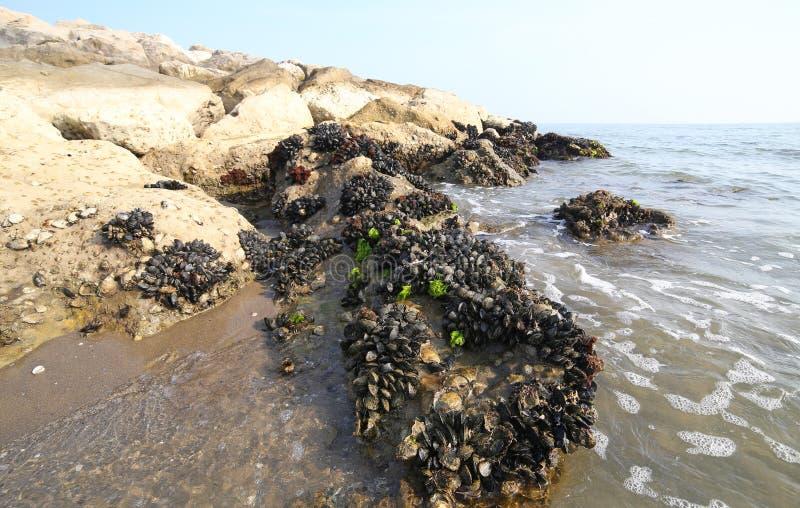 muitos mexilhões pretos nas rochas imagens de stock