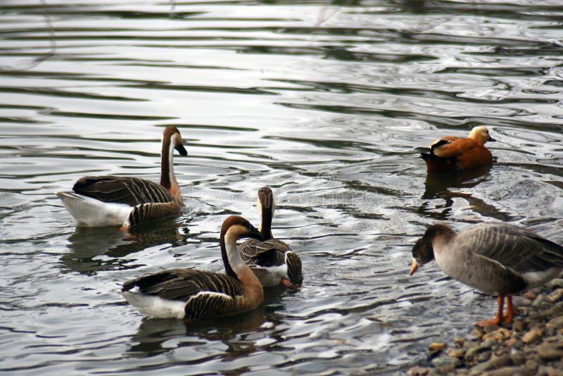 Muitos pássaros diferentes nadam em uma lagoa imagens de stock