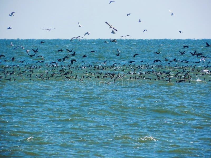 Muitos pássaros travam peixes imagens de stock