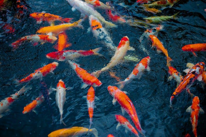 Muitos peixes bonitos do koi na lagoa em casa na vista superior fotografia de stock royalty free