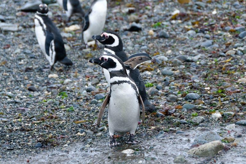 Muitos pinguins magellanic na ilha de Magdalena, o Chile imagens de stock royalty free