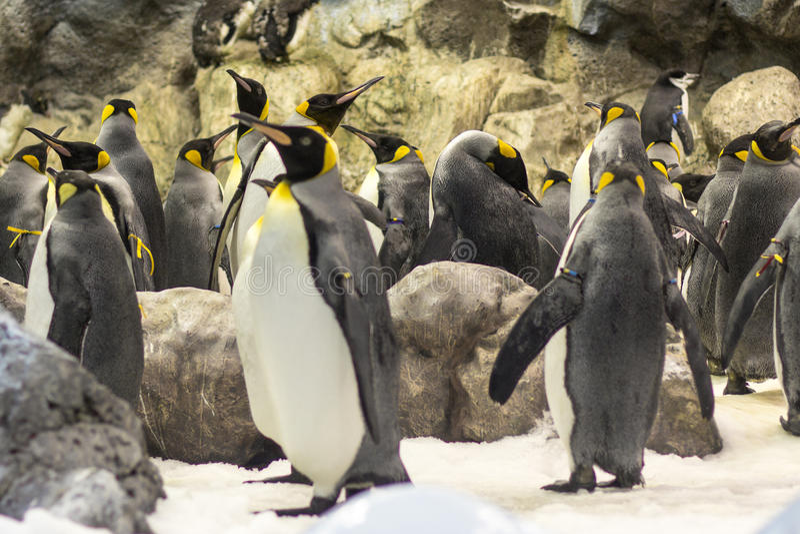 Muitos pinguins no jardim zoológico foto de stock royalty free