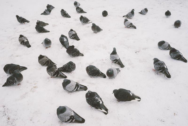 Muitos pombos na neve foto de stock