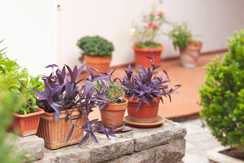 Muitos potenci?metros de flor da argila com floresc?ncia e as plantas verdes Jardim decorativo imagem de stock royalty free