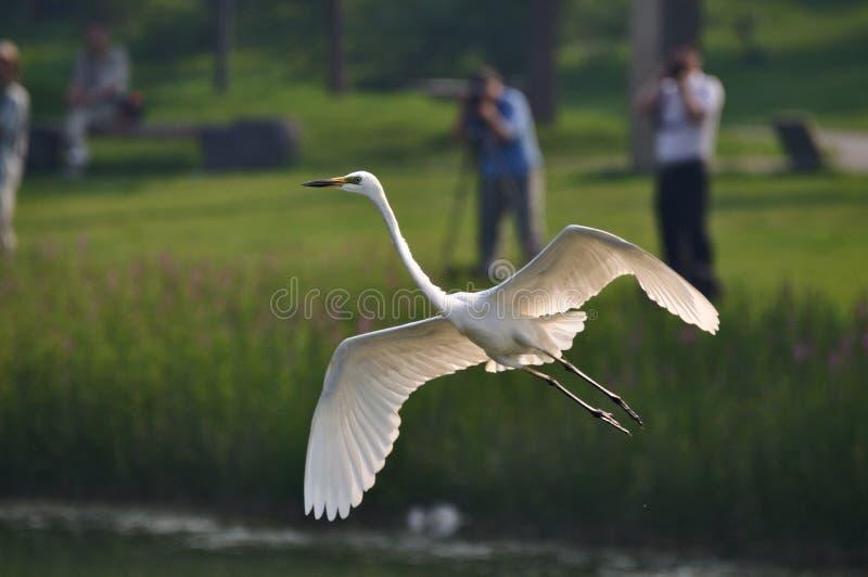 Muitos povos disparam em egrets fotos de stock royalty free