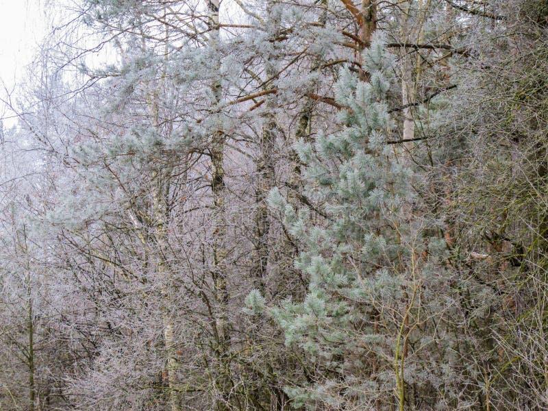 Muitos ramos pequenos das árvores cobertas com a geada imagem de stock royalty free