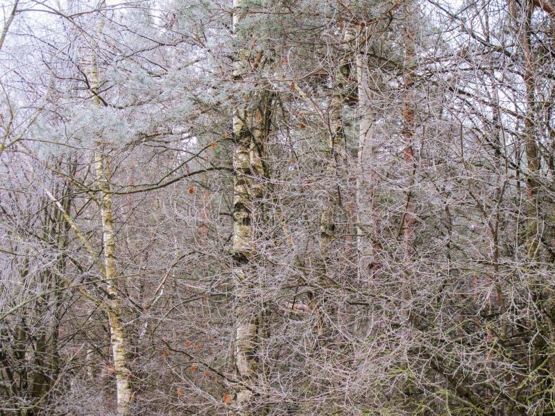 Muitos ramos pequenos das árvores cobertas com a geada foto de stock royalty free