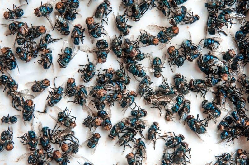 Muitos voam e inseto sujo e mosca ou cadáver inoperante da mosca no whit imagem de stock royalty free