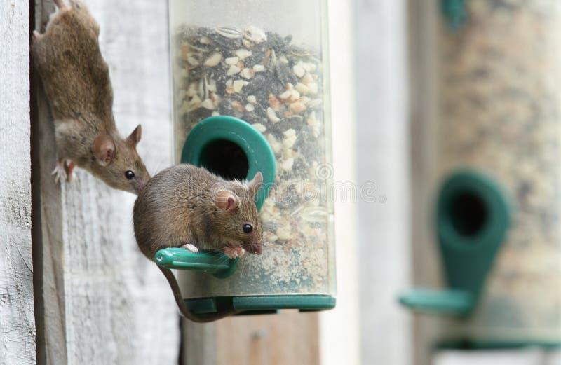 Muizen. stock afbeelding