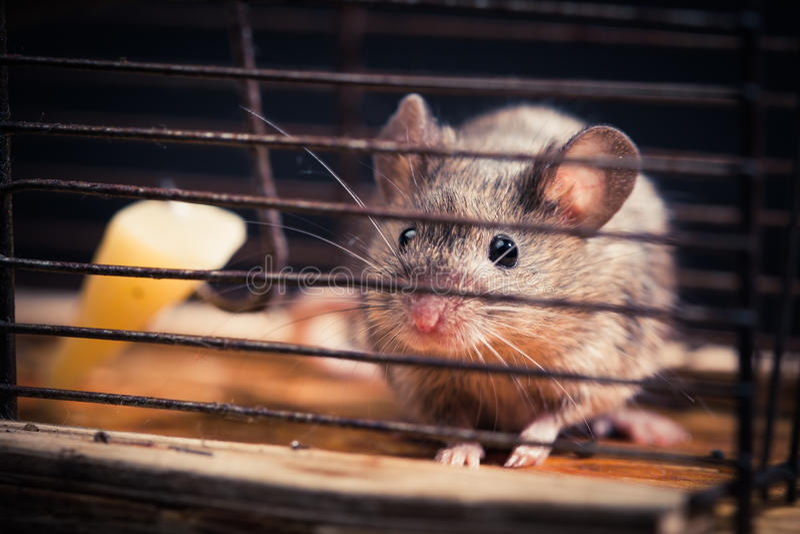 Muizen die in het muizeval worden gevangen royalty-vrije stock afbeelding