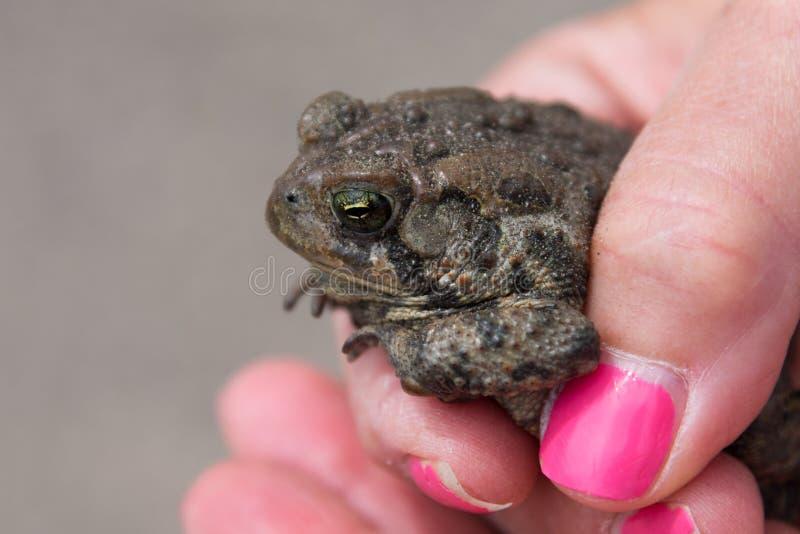 Mujer adulta que sostiene una rana o un sapo foto de archivo