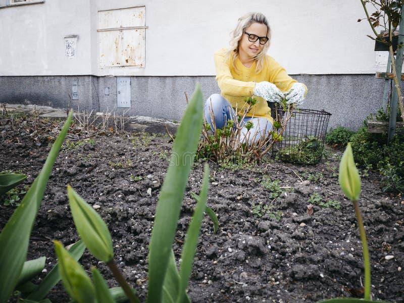 Mujer bonita joven con el suéter amarillo que escarda malas hierbas en una cama de tulipán imagen de archivo