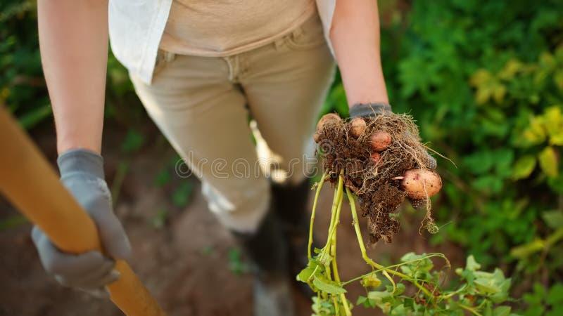 Mujer calzada en patatas de los empujes de las botas en su jardín foto de archivo libre de regalías