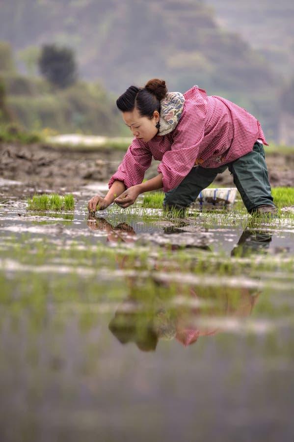 Mujer campesina china que planta almácigos del arroz en campo inundado del arroz fotos de archivo libres de regalías