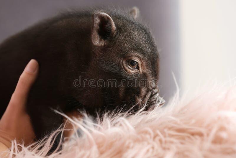 Mujer con el mini cerdo lindo en el sofá en casa foto de archivo libre de regalías