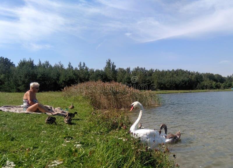 Mujer con patos y cisnes en un paisaje lacustre de verano en Minsk Bielorrusia fotografía de archivo