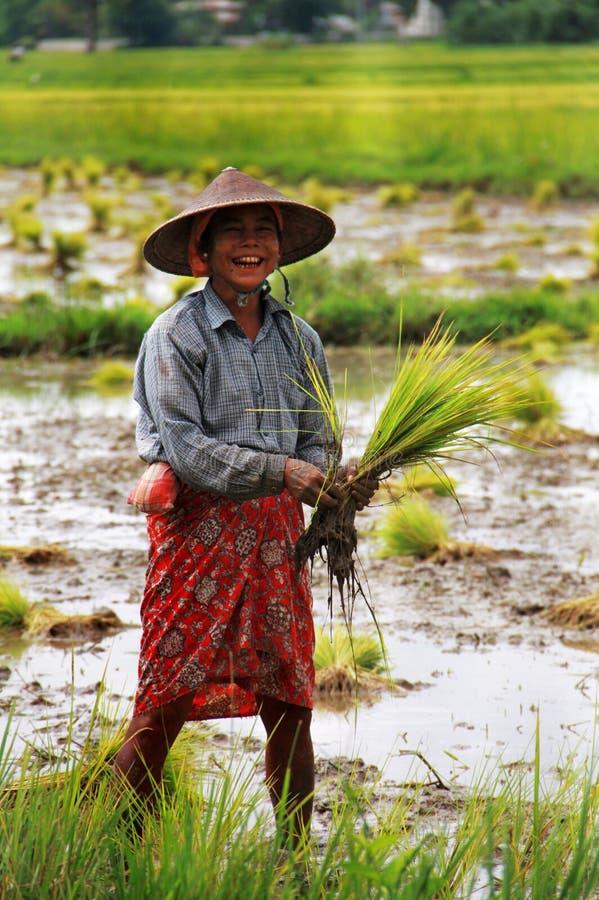 Mujer de Myanmar que trabaja en un campo de arroz de arroz imágenes de archivo libres de regalías