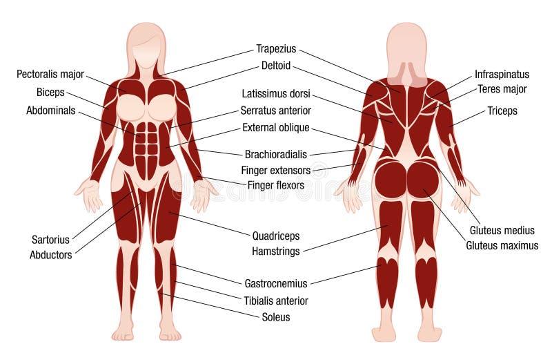 Mujer del cuerpo muscular de la descripción de la carta de los músculos stock de ilustración