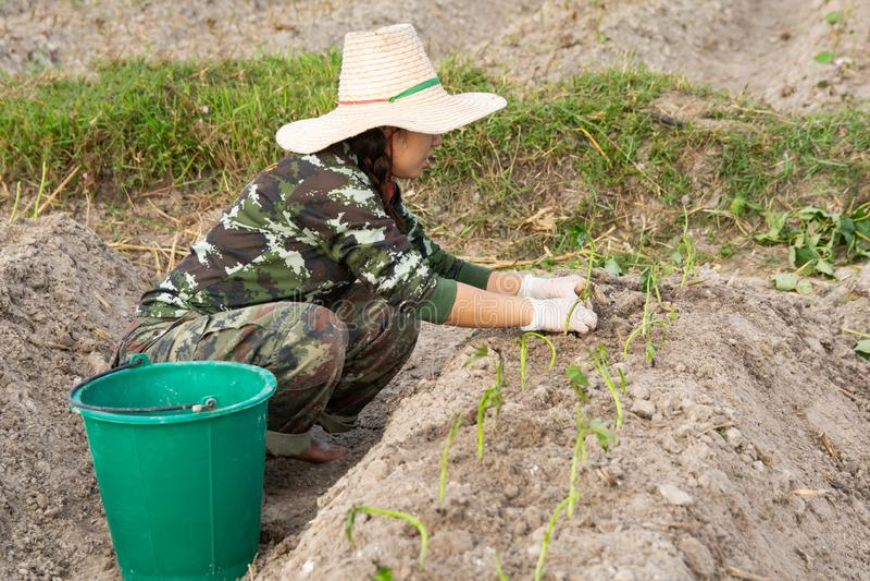 Mujer del jardinero que produce las patatas dulces en su jardín imagen de archivo
