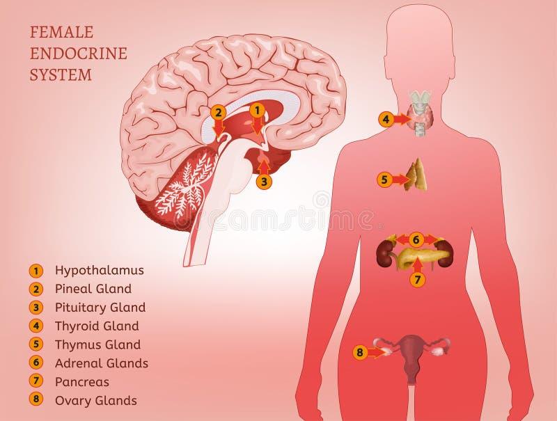 Mujer Del Sistema Endocrino Ilustración del Vector - Ilustración de ...