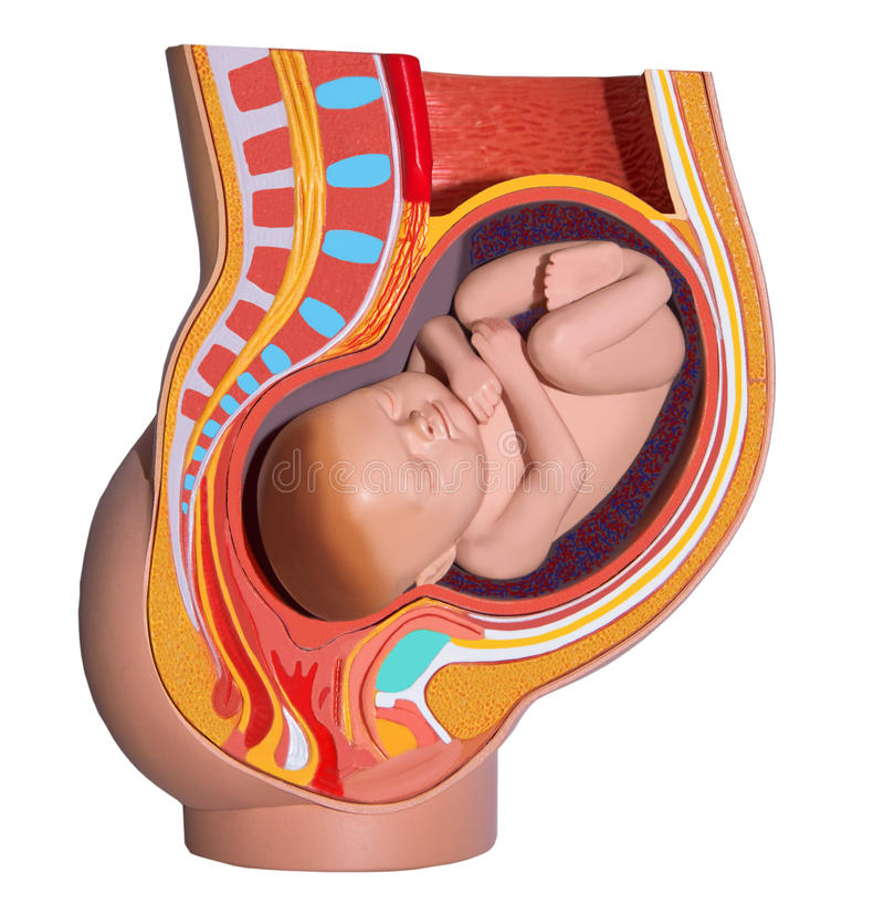 Mujer embarazada. Anatomía colorida. Aislado. ilustración del vector