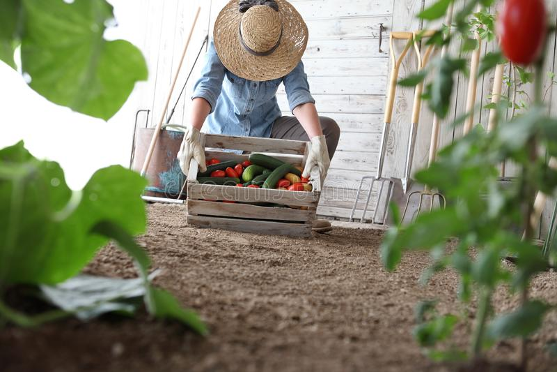 Mujer en el huerto que sostiene la caja de madera con las verduras de la granja Cosecha del oto?o y alimento biol?gico sano fotografía de archivo libre de regalías