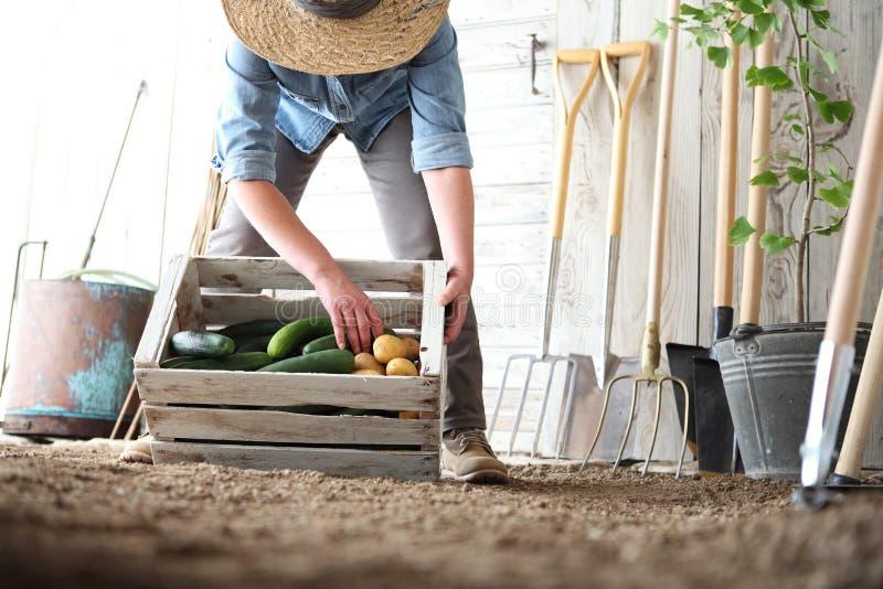 Mujer en el huerto que sostiene la caja de madera con la verdura de la granja fotos de archivo