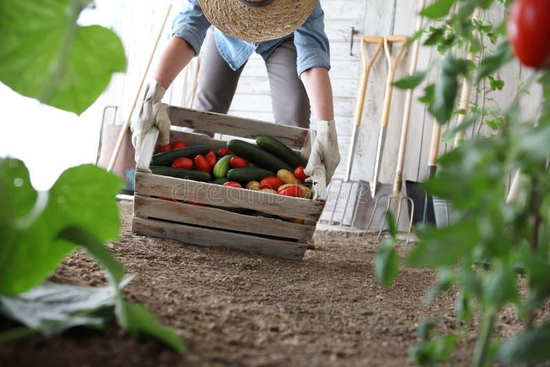 Mujer en el huerto que sostiene la caja de madera con la verdura de la granja imagen de archivo libre de regalías