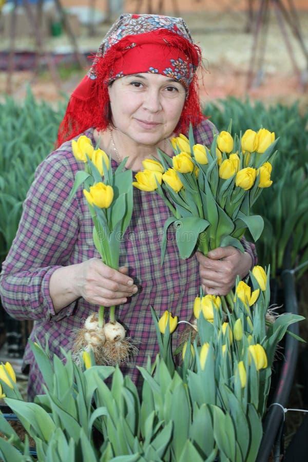 Mujer en la cosecha de tulipanes foto de archivo