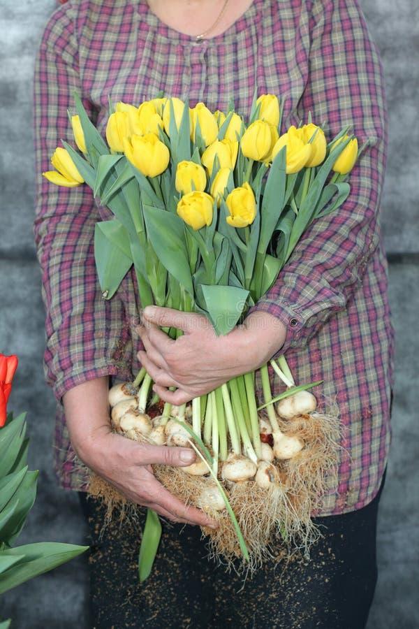 Mujer en la cosecha de tulipanes imagenes de archivo