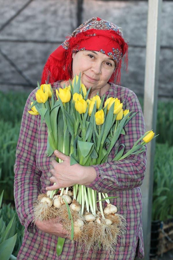 Mujer en la cosecha de tulipanes fotografía de archivo libre de regalías