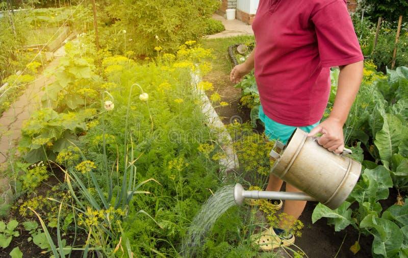 Mujer en pantalones cortos y camiseta que riega las plantas vegetales orgánicas en su jardín de una regadera vieja, luz del sol,  imagen de archivo libre de regalías