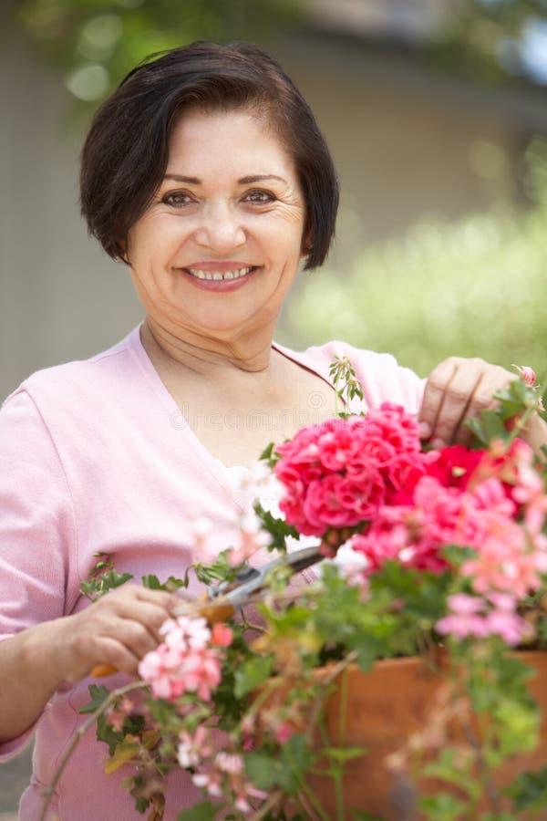 Mujer hispánica mayor que trabaja en el jardín que pone en orden los potes imágenes de archivo libres de regalías